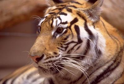 tiger (1109).jpg