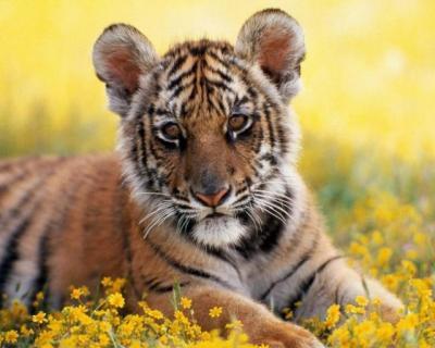tiger (1101).JPG