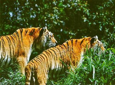 tiger (1103).jpg