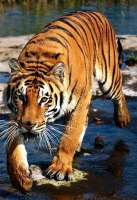 tiger (1104).jpg