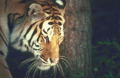 tiger (1107).jpg