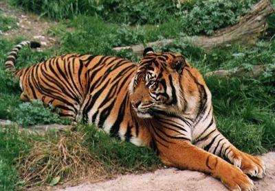 tiger (1108).jpg