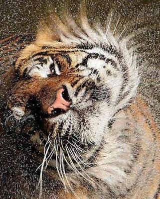 tiger (1122).jpg