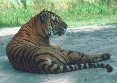 tiger (1123).jpg
