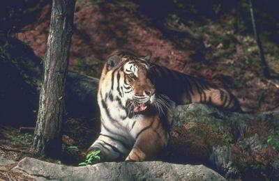 tiger (1126).jpg