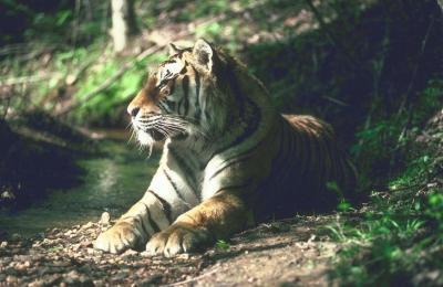 tiger (1127).jpg
