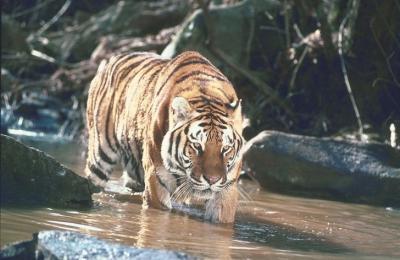 tiger (1128).jpg