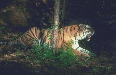 tiger (1130).jpg
