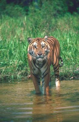 tiger (1131).jpg