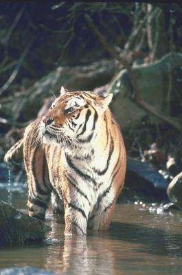 tiger (1132).jpg