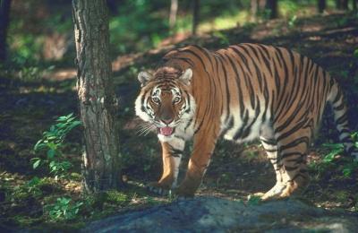 tiger (1133).jpg