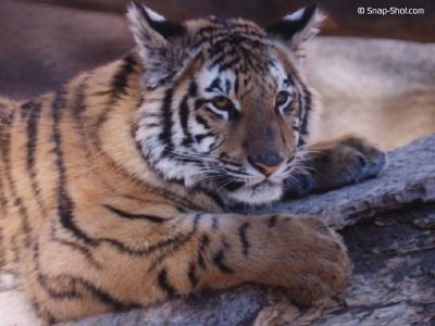 tiger (1135).jpg