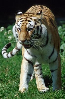 tiger (1136).jpg