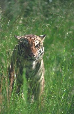 tiger (1137).jpg