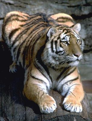tiger (1138).jpg