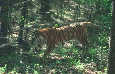 tiger (1149).jpg