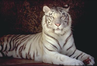 tiger (1140).jpg
