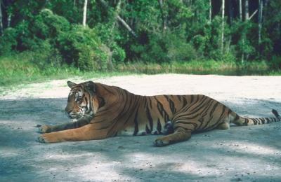 tiger (1141).jpg