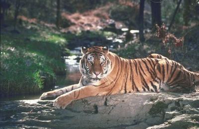 tiger (1143).jpg