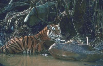 tiger (1144).jpg