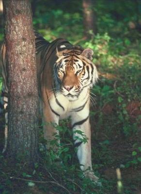 tiger (1146).jpg