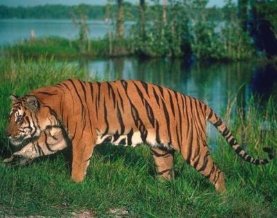 tiger (1147).jpg
