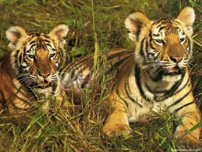 tiger (1148).jpg