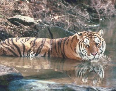 tiger (1151).jpg