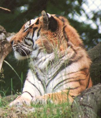 tiger (1152).jpg