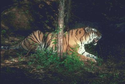 tiger (1153).jpg