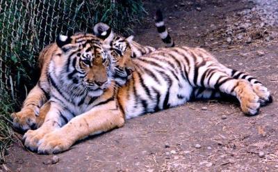 tiger (1154).jpg