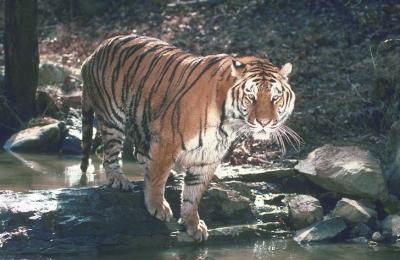 tiger (1156).jpg