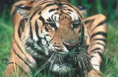 tiger (1159).jpg