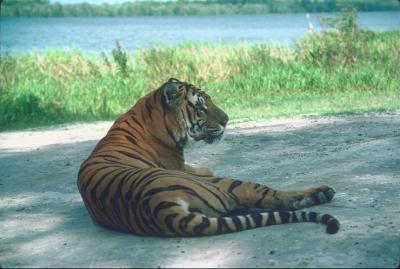 tiger (1169).jpg