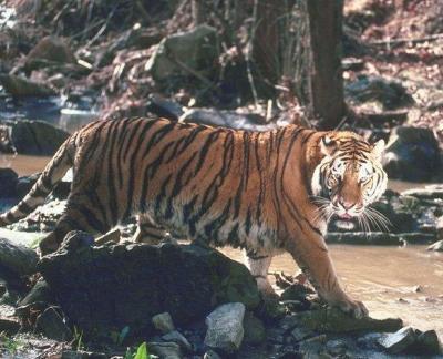 tiger (1160).jpg
