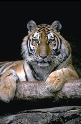 tiger (1161).jpg