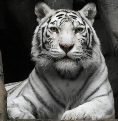tiger (1163).jpg