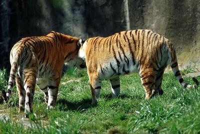 tiger (1166).jpg