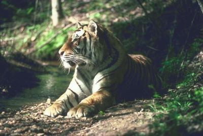 tiger (1168).jpg