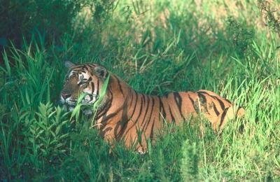 tiger (1179).jpg