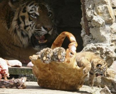 tiger (1170).jpg