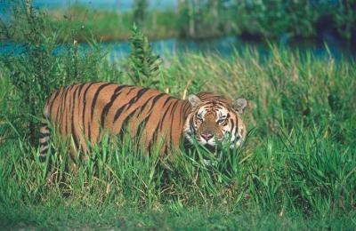 tiger (1173).jpg