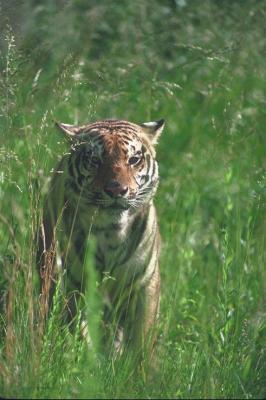 tiger (1174).jpg