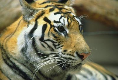 tiger (1176).jpg