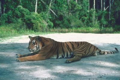 tiger (1178).jpg