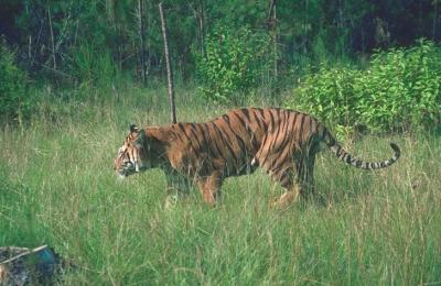 tiger (1180).jpg
