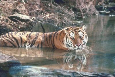 tiger (1181).jpg