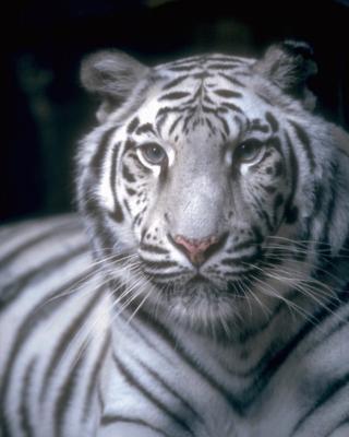 tiger (1182).jpg