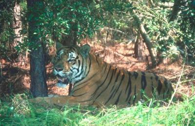 tiger (1184).jpg