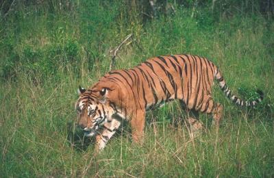 tiger (1186).jpg